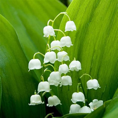 The meaning and symbolism of the word - «Lily Of The Valley»