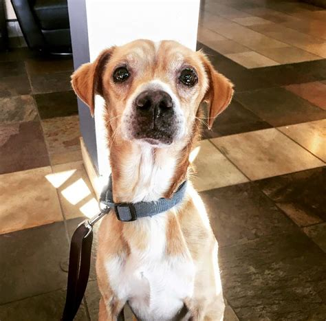 Rory: Beagle/Chihuahua mix looking for new best friend