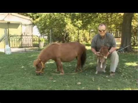 World's smallest horse breed making a comeback - YouTube
