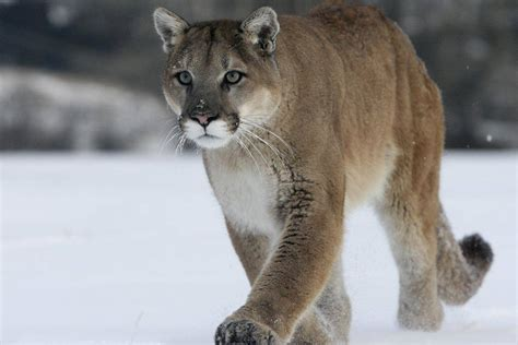 Pictures Of Cougar - Bilscreen